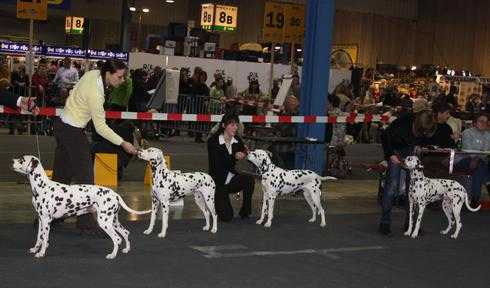 COMMENT PRESENTER SON CHIEN EN EXPOSITIONS